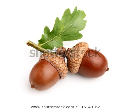 oak tree branch with acorns and dry leaves stock photo © loopall