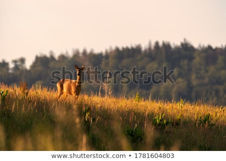 antelope on a background of green grass Stock photo © master1305