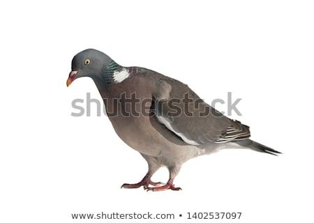 Wood Pigeon (Columba palumbus) Stock photo © chris2766