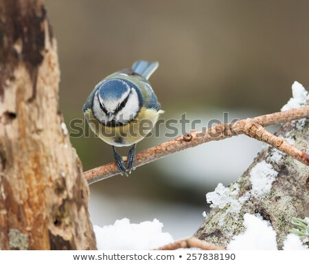 Blue Tit holding food between feet stock photo © rekemp
