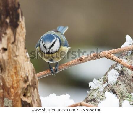 синий Тит продовольствие ног природы Сток-фото © rekemp