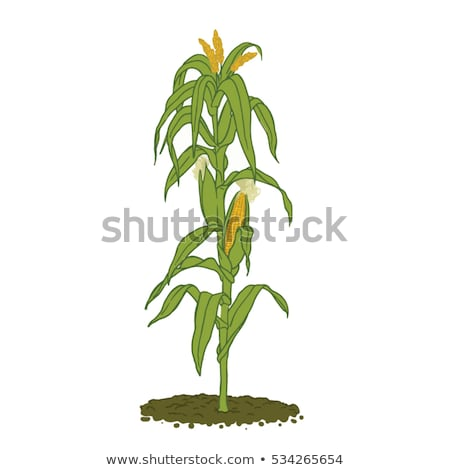 Harvest ready corn on stalk in maize field Stock photo © stevanovicigor