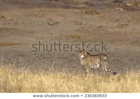 Geri çita park Güney Afrika hayvanlar fotoğrafçılık Stok fotoğraf © simoneeman