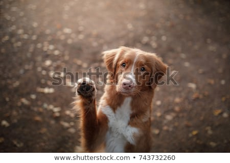 Waving dog stock photo © Shevs