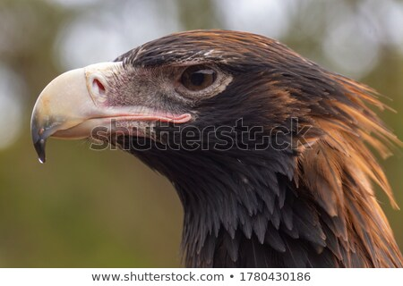 Wedge-tailed Eagle Stock photo © bluering