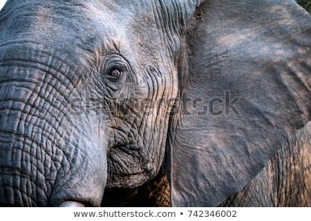 Közelkép afrikai elefánt szem elefánt játék tartalék Stock fotó © simoneeman