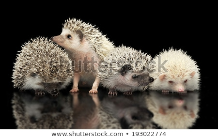 Four African Hedgehogs are in the dark studio one looking up Stock photo © vauvau