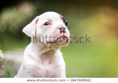 Kutyakölyök boxoló kutya fű kutyák homok Stock fotó © AvHeertum