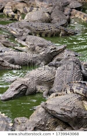 Sok fiatal krokodilok hazugságok farm Thaiföld Stock fotó © Mikko