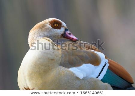 egyptian goose alopochen aegyptiacus stock photo © mariephoto
