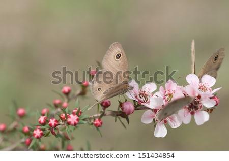 Dingy Ring butterfly on Australian leptospernum pink flower Stock photo © sherjaca