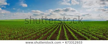 Young corn crop furrows Stock photo © stevanovicigor