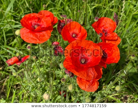 Scarlet poppies against the background of green grass. Stock photo © alinamd