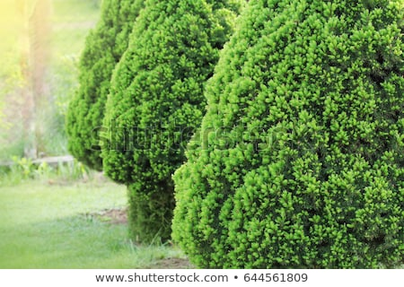 Anão decorativo sempre-viva árvore jaritataca Foto stock © Virgin