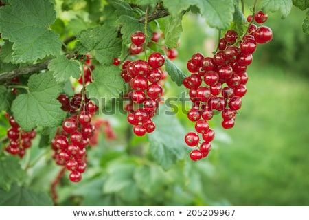 Rouge groseille Bush fruits Photo stock © IS2