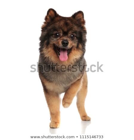 Excité haletant regarder côté blanche chien Photo stock © feedough