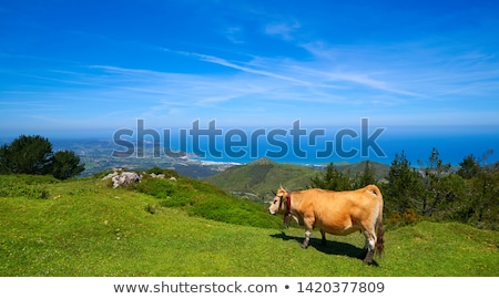 Asturias cow in high mountain and sea background Stock photo © lunamarina