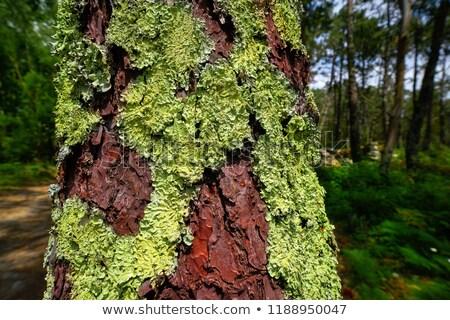 Yeşil yosun çam ağaç galicia İspanya Stok fotoğraf © lunamarina