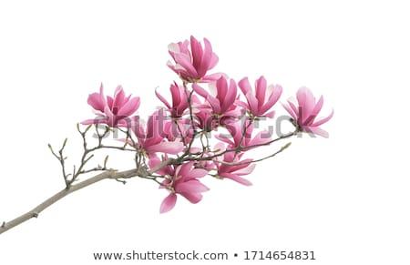 Magnolia kwiaty biały oddziału odizolowany Zdjęcia stock © neirfy