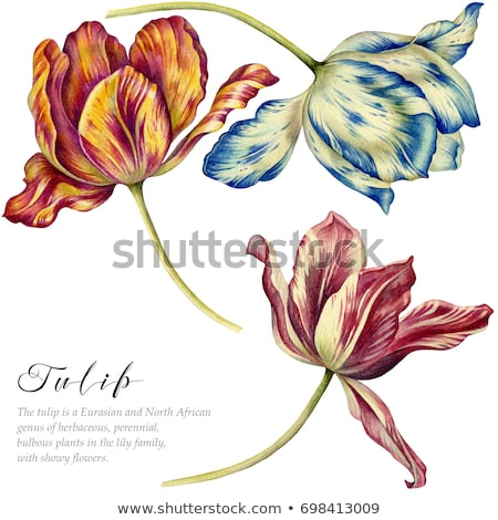 botanical art watercolor tulip flower Stock photo © balasoiu