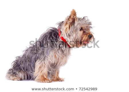 Vista lateral curioso yorkshire terrier pie Foto stock © feedough
