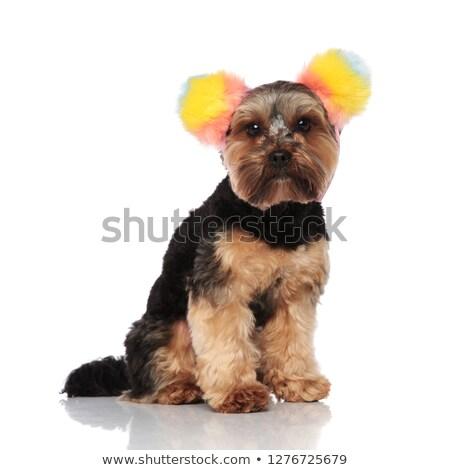Cute yorkshire terriër kleurrijk vergadering Stockfoto © feedough