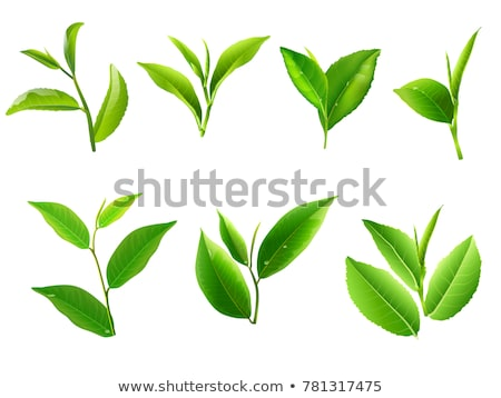 realistic fresh green leaves on white background tea and herb stock photo © marysan