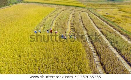 trekker · rijstveld · natuur · achtergrond · industrie - stockfoto © galitskaya