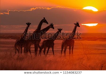 Szafari turizmus Afrika állatok vadvilág természet Stock fotó © robuart