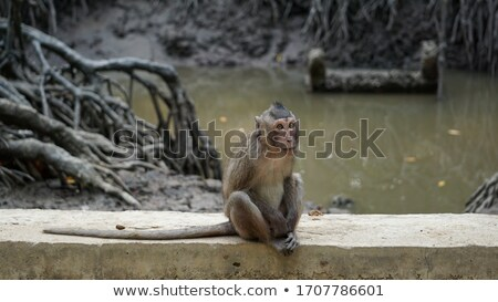 Macaque monkey sitting on mangrove tree Stock photo © vapi