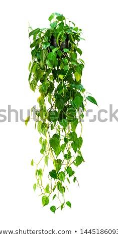 Ivy in pot isolated on white background  Stock photo © dashapetrenko