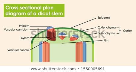Diagram tonen kruis plan stengel illustratie Stockfoto © bluering