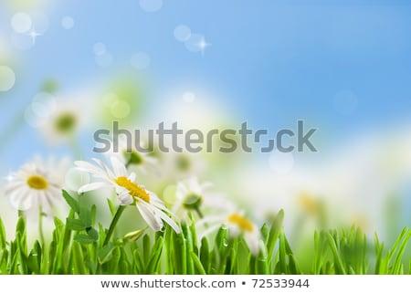 camomila · cair · folha · fundo · beleza · verão - foto stock © ruslanomega