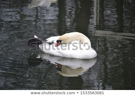 Cygne oiseau animaux blanche Photo stock © mosnell