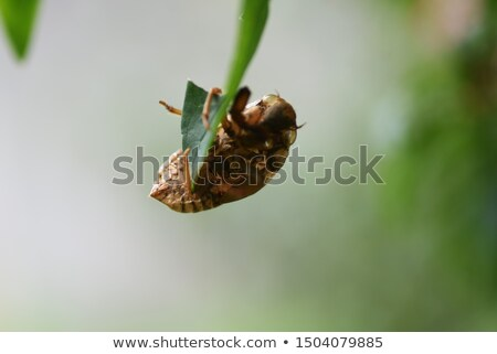 Cicada (Cicadidae) Skin clinging to a Tree Stock photo © gabes1976