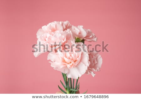 Clavel flor aislado blanco rojo primer plano Foto stock © FOKA