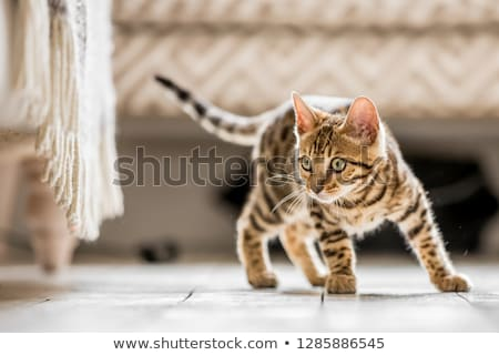 bengal kitten stock photo © cynoclub