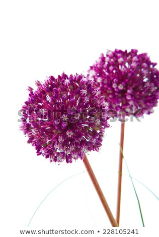 alium purple sensation stock photo © julietphotography