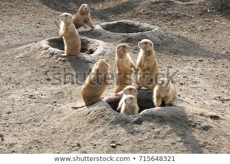 préri · kutya · ül · föld · természet · állat - stock fotó © arrxxx
