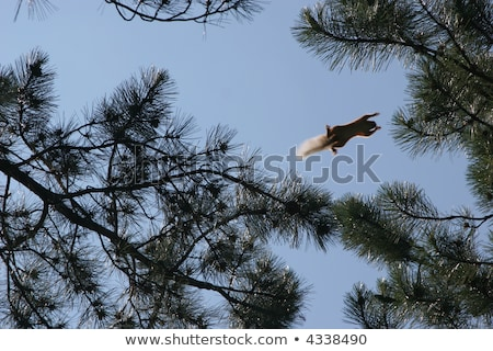 Squirrel jumping from pinetree Stock photo © Escander81
