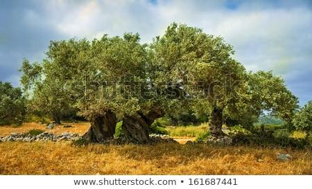оливкового деревья пород два регион Корсика Сток-фото © Joningall