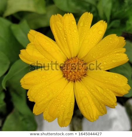 een · gele · bloem · geïsoleerd · witte · studio - stockfoto © boroda