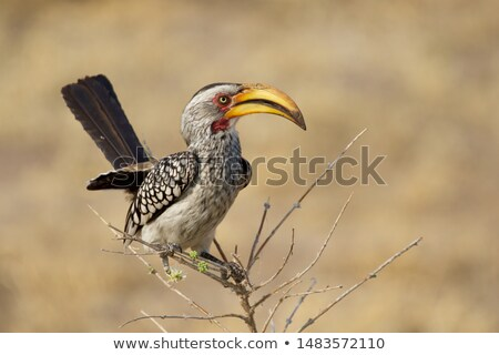 Yellow-billed Hornbill  stock photo © ottoduplessis