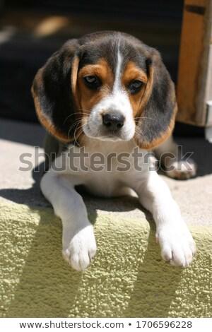 Beagle · щенков · сидят · собака · Открытый - Сток-фото © jaycriss