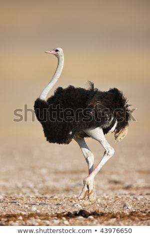 Portrait of African ostrich (Struthio camelus) Stock photo © bubutu