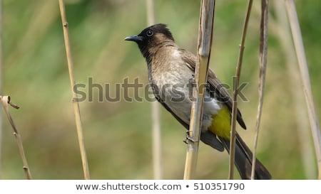 common bulbul pycnonotus barbatus stock photo © dirkr