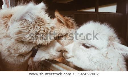 Stock fotó: Gyönyörű · alpaka · állatkert · haj · nyár · farm