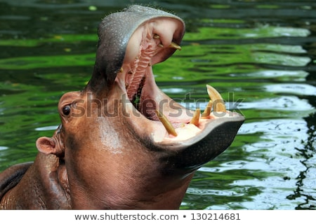 Hippopotamus showing huge jaw and teeth Stock photo © master1305
