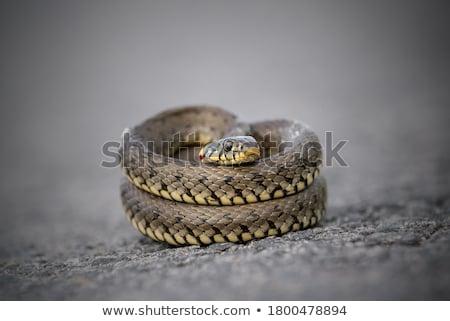 несовершеннолетний · Dice · змеи · портрет · текстуры · природы - Сток-фото © igabriela