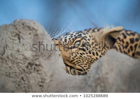 ocultação · leopardo · forte · olhando · selva · sombras - foto stock © simoneeman